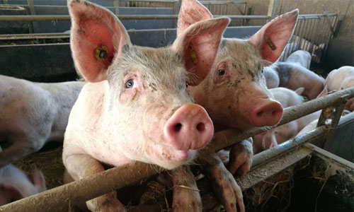 Pig Study Might Pave The Way For Gene Therapy To Avert Heart Failure